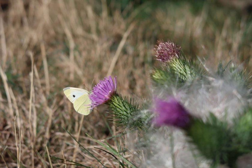 Ahrtal erleben auch in kleinen Details, hier Schmetterling auf einer Distelblüte