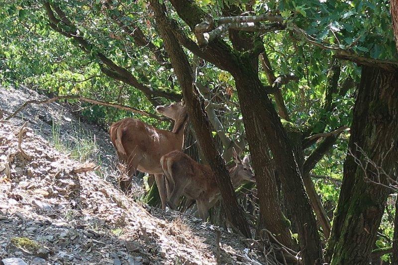 Hirschkühe im Hang rechts vom Weg. Sie können mich nicht hören, sind aber vorsichtig und heben alle paar Sekunden den Kopf