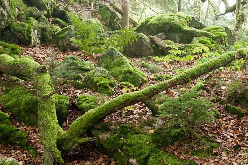 Moose, Flechten, Steine, umgestürzte Bäume: Werden und Vergehen – hier bin ich ein Teil davon (Foto: H.-J. Schneider)