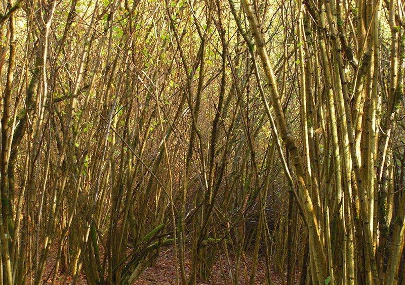 Jungwald, junge Stämme, so dicht gewachsen, dass beinahe kein Durchkommen ist
