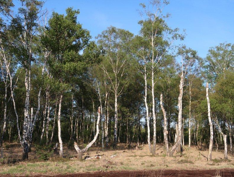 Eine Gruppe Birken am Rand des Moores