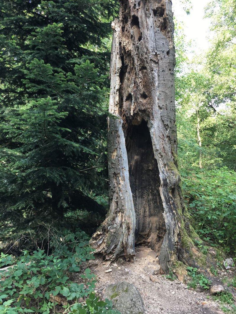 Der Stumpf eines abgestorbenen Baumes beherbergt viele Vogelhöhlen.
