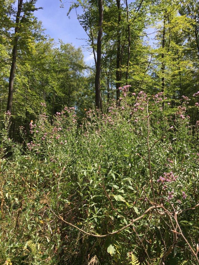 Disteln mit ganz vielen Schmetterlingen stehen auf einer Lichtung mitten im Wald