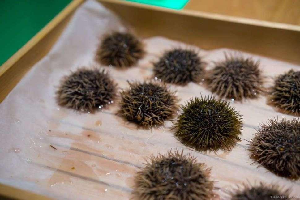 Sea urchins still alive