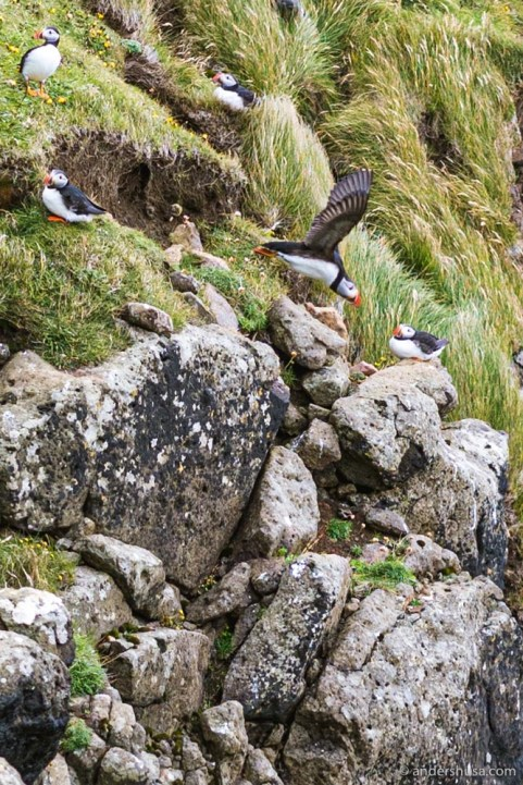 Faroese puffins take flight!