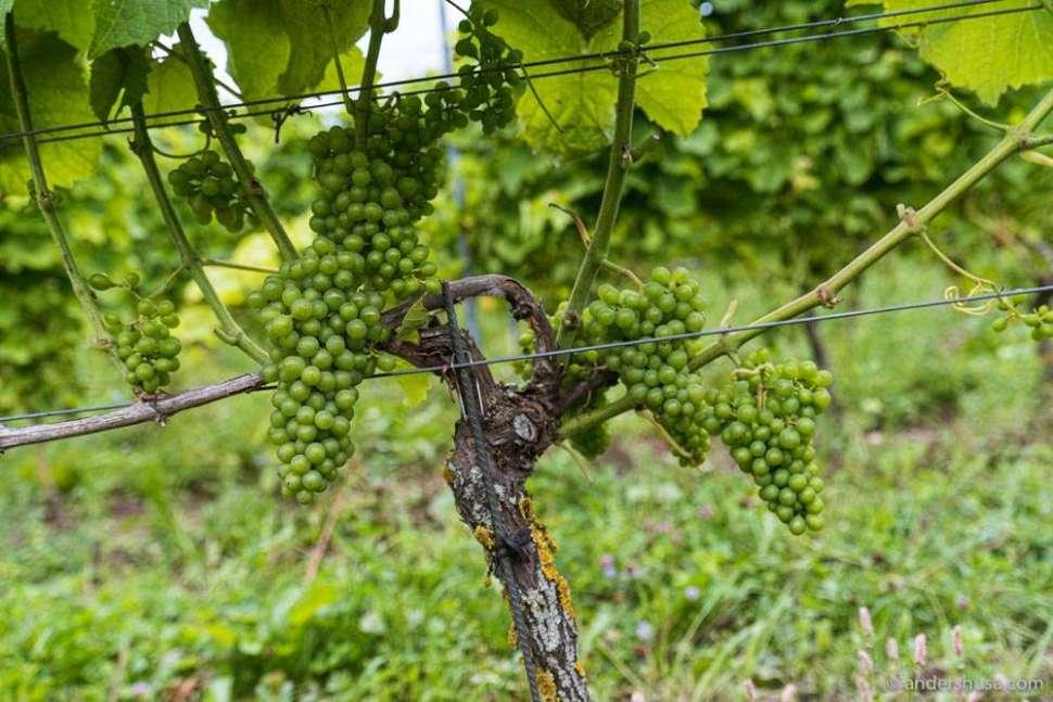 Solaris grapes growing on the vine at Ästad Vingård.