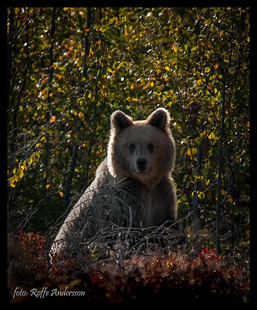 björn1