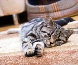 remove-cat-urine-from-carpet