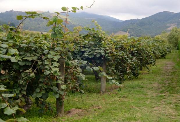 Kiwi vines.