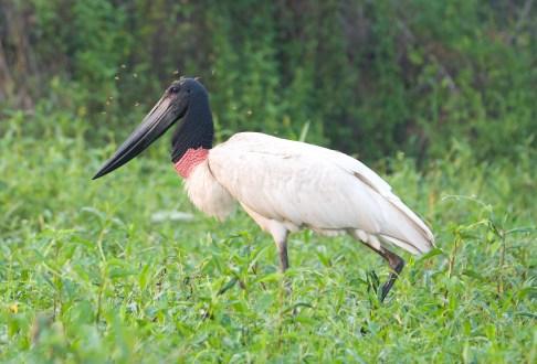 Old Man Stork.