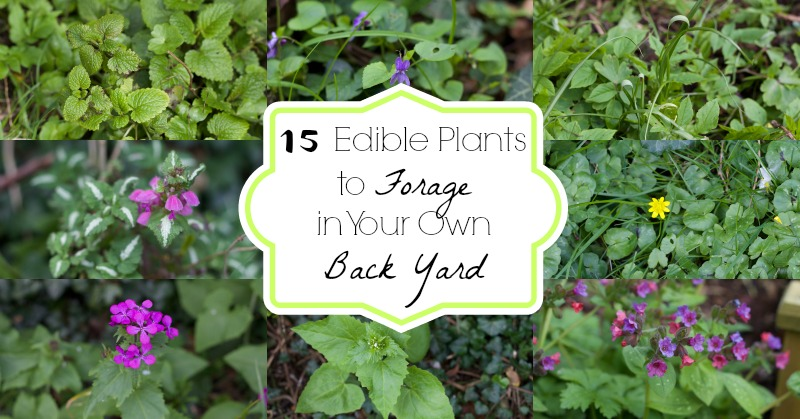 15 Plants to Forage in Your Own Back Yard