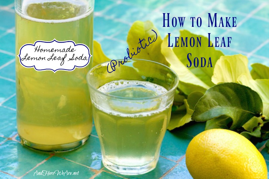 How to Make Lemon Leaf Soda (Bonus: It's a Probiotic!) - And Here We Are