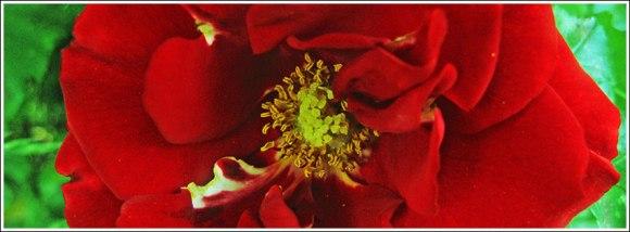 rose_heinz