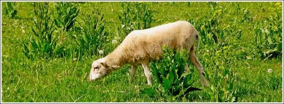 young_sheep