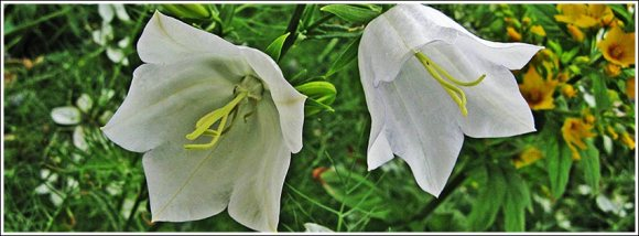 weisse_campanula