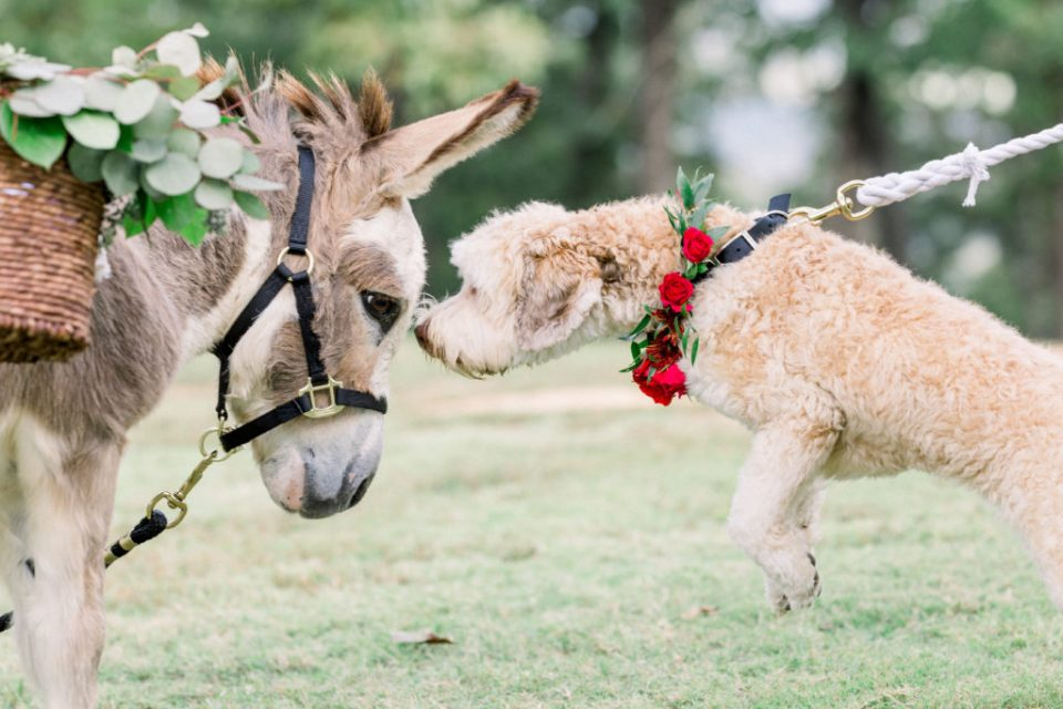 donkey and dog meet for the first time at Dream Point Ranch wedding