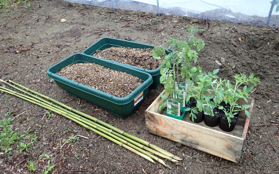 ミニトマトの苗を植えました。