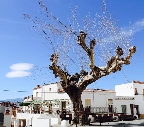 Árbol castaño Loco