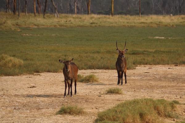 Antilope Agua Kenya-Andorreando por el Mundo