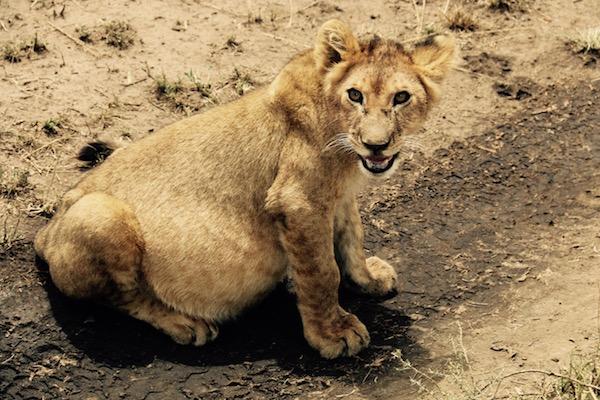 Cachoro León-Serengeti-Andorreando por el Mundo