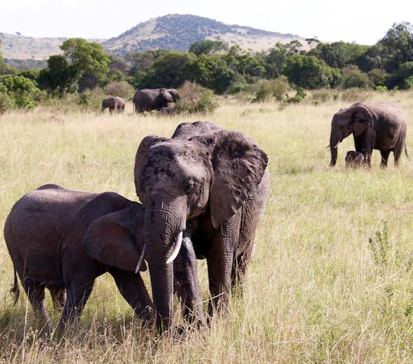 Elefante Maasai Mara-Andorreando por el Mundo