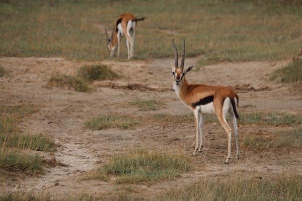 Gacela Thomsons Kenya-Andorreando por el Mundo