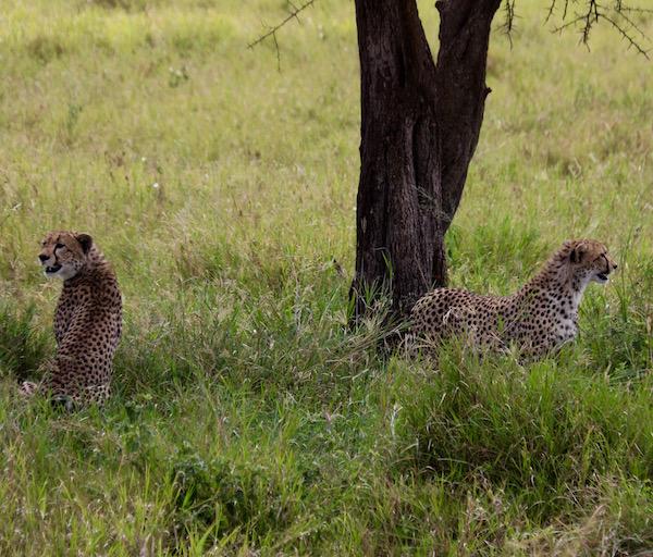 Guepardos Serengeti-Andorreando por el Mundo
