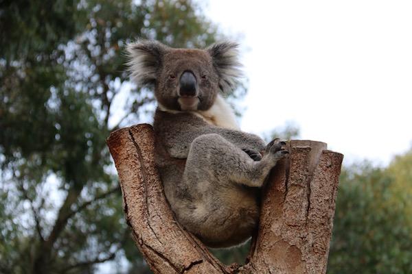 Koala Kangaroo Island-Andorreando por el Mundo