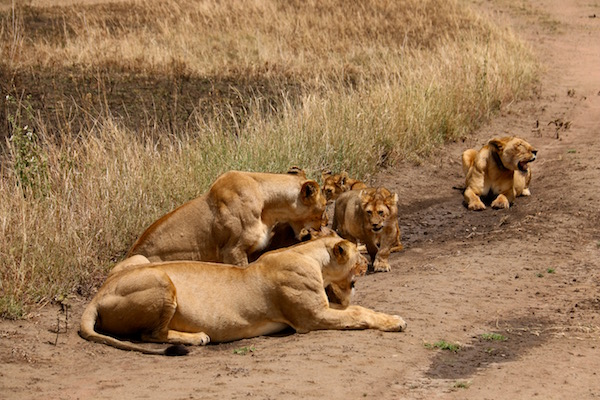 Manada leones Seregeti-Andorreando por el Mundo