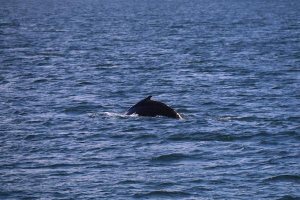 Delfin Islas Ballestas-Andorreando por el Mundo