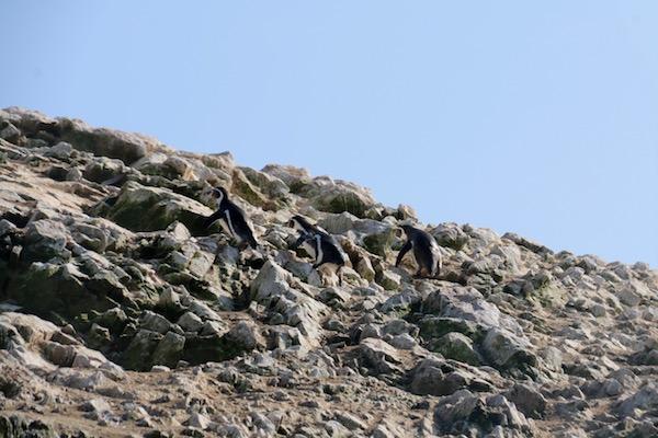 Pinguino Humboldt-Andorreando por el Mundo