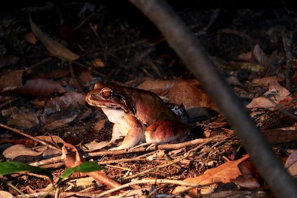 Rana Amazonas