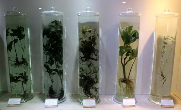 Plantas museo de Medicina Oriental Yangnyeongsi