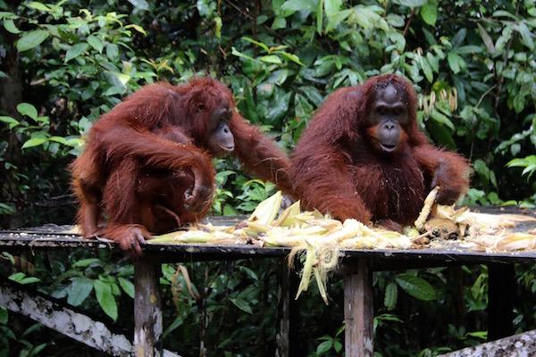 familia orangutanes