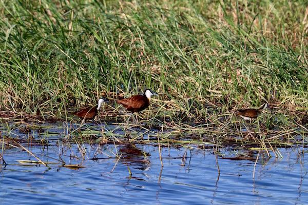 Aves Río Chobe