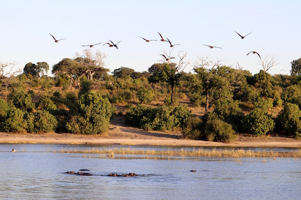 Aves volando Río Chobe