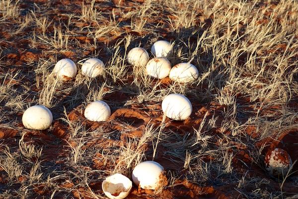 Huevos Avestruz