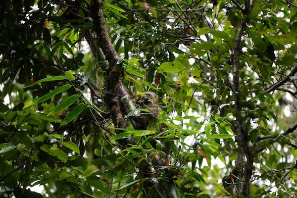 Lémur Dorado Bambú