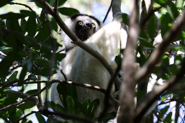 Lémur sifaka coquereli