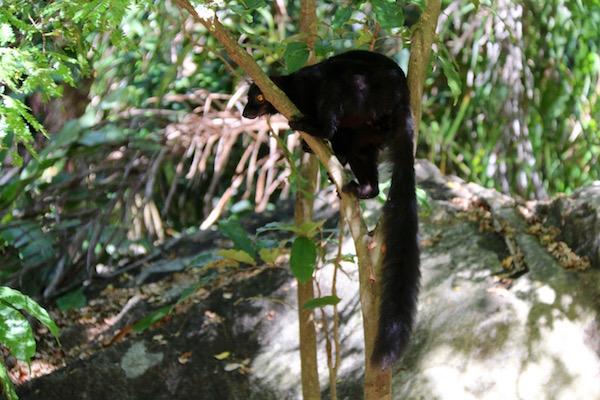 lémur negro.