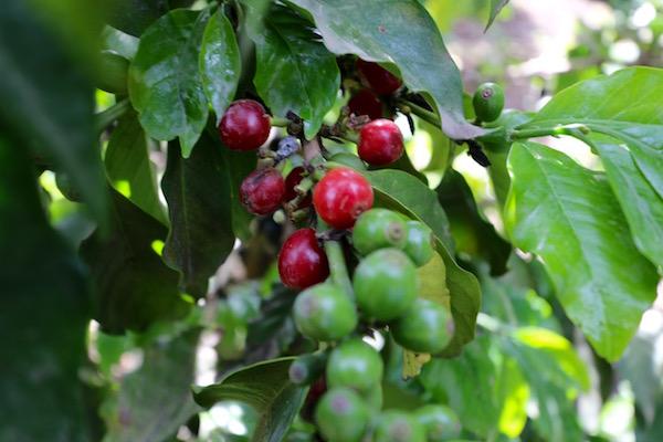 Plantación café.