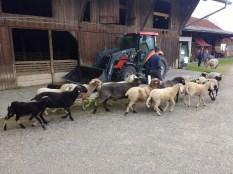 Schafe freuen sich auf die Weide zu kommen