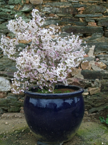 Prunus Kojo No Mai : prunus, PRUNUS, Incisa, 'Kojo