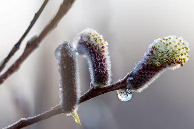 Weidenkätzchen mit Frost