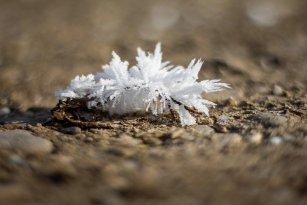 Ice Flower on stony ground