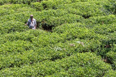 Tea Picker in Sri Lanka