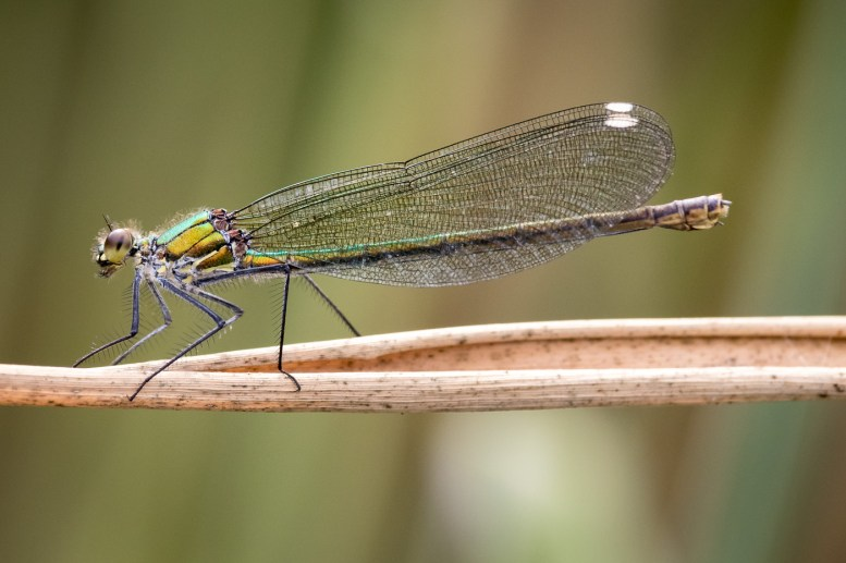 An Interesting Coloured Dragon Fly