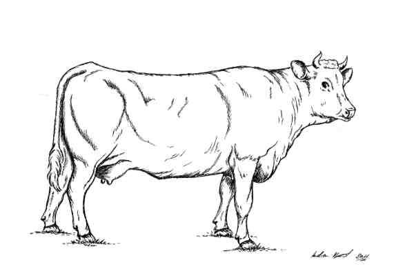 Pustertaler Rind - Tuschezeichnung / Illustration