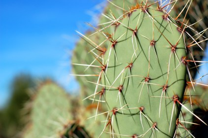 Paddle and spines of (potentially?) prickly pear cactus