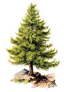 tree+pine-graphicsfairy008b
